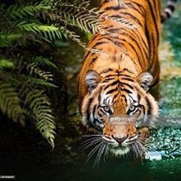 Картина по номерам 30х40 «Крадущийся тигр»